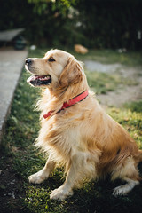 Beautiful golden retriever dog in the park.