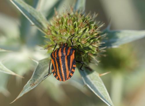 Minstrel Bug (Graphosoma lineatum)