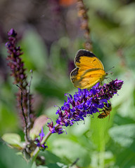 Orange Suplhur butterfly