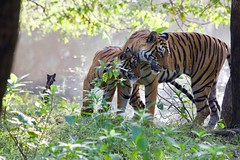 Tigress Arrowhead with male cub