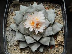 Ariocarpus retusus v. furfuraceus