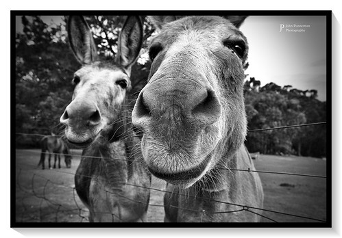 Donkey buddies two - Mr Smith and Mr Robson