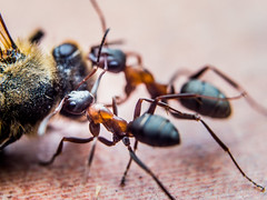 Ants carrying a larger insect back to their anthill