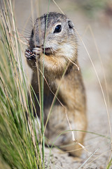 Ground squirrel next to the grass