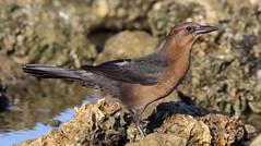 Boat-tailed Grackle (female)- Hudson Beach