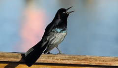 Boat-tailed Grackle (male)- Hudson Beach