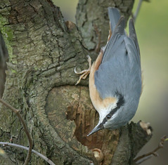 Nuthatch and its nut