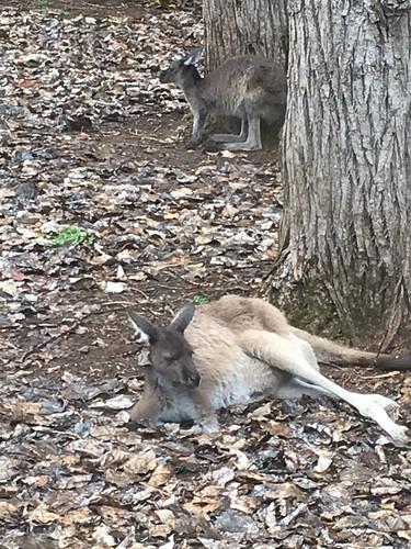 Kangaroos hanging around Donnelly River