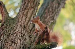 Белка / Squirrel