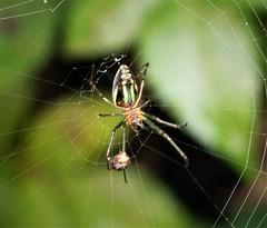 Spider. Orchard Orb Weaver. Leucauge species