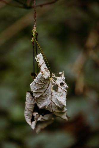 Plaffeien – Leaf