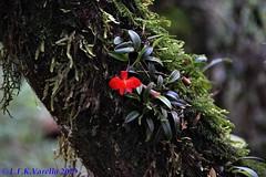 Cattleya coccinea no habitat