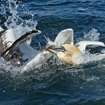 Gannets Feeding Frenzy by Andrew C M Chu