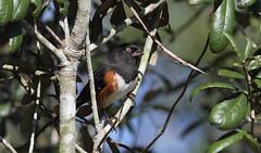 Eastern Towhee (male)- Aripeka Sandhills Preserve