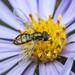 Margined Caligrapher - Toxomerus marginatus (Syrphidae, Syrphinae, Toxomerini) 119z-9226457