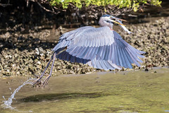 Great Blue Heron Water Takeoff with a Catfish