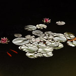 Water Lilies by Moonlight by trevor chapman