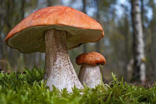 Leccinum aurantiacum - Rosse populierboleet