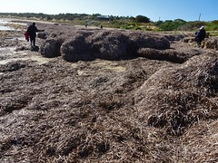 Sceale Bay Eyre Peninsula. Mounds of seaweed on the beach.