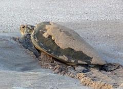 Oman-Turtles