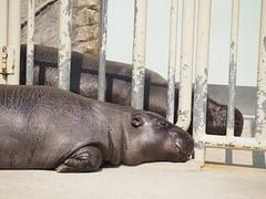 nap hippo