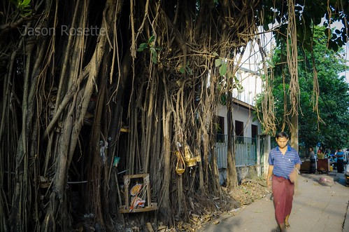 Tree with Many Roots Hogs the Sidewalk, Rangoon, Burma