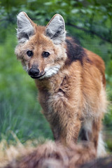 Maned wolf looking at me