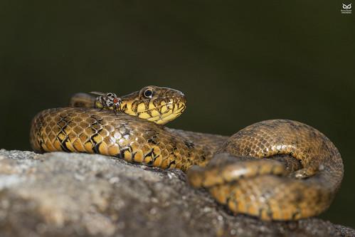 Cobra-de-agua-viperina, Viperine Water Snake (Natrix maura))
