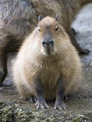 Capybara bravely sitting