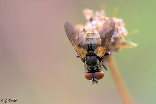 Piqué de mouche