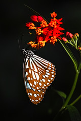 Spotted butterfly on a red flower