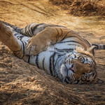Male Tiger Resting – Ranthambore Forest by JUNE SPARHAM