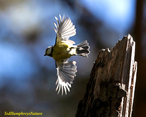 Blue Tit takes off, Northern Spain
