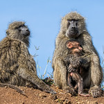 1st  PDI League 2 Open - Baboon Mother with Juvenille and new Infant by June Sparham