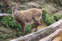 Young ibex on the log