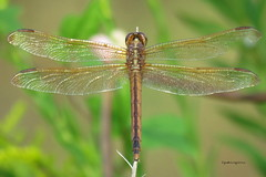 five rivers dragonfly3