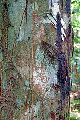 DSC00615 - Copaiba Tree