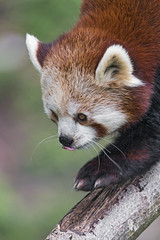 Red panda walking down the branch