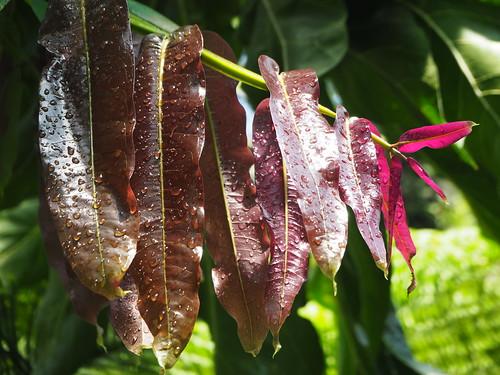 Meryta denhamii - Seemann - Araliaceae_P4140220