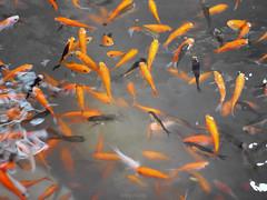 Fish eating-5
