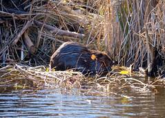 The Beaver - An emblem of Canada