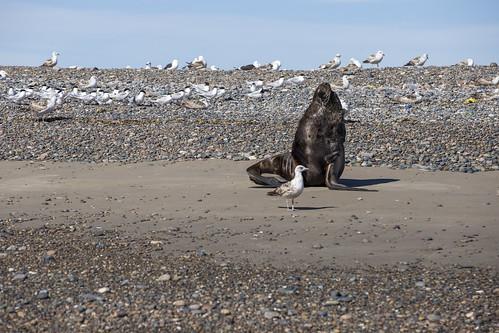 Lobos marinos, Puerto Rawson