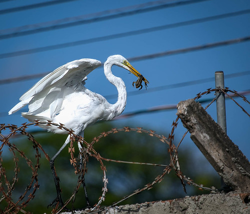 Garça-branca-grande (Ardea alba)