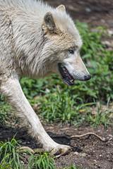 Arctic wolf walking
