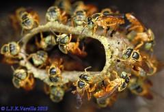 abellhas