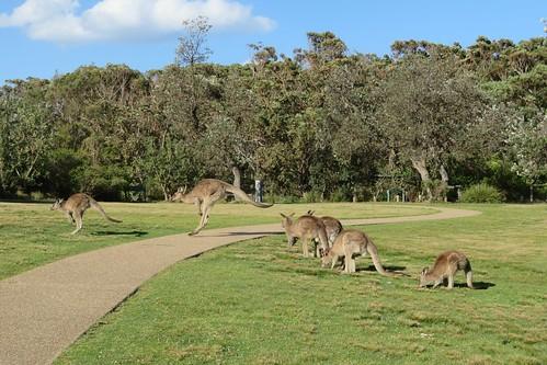 Kangaroos at Pretty Beach campground