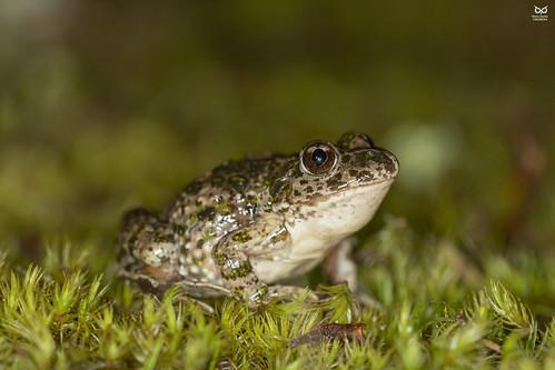 "Sapinho-de-verrugas-verdes-lusitânico, ""Lusitanic"" parsley frog (Pelodytes atlanticus)"