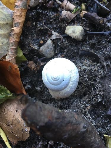 Schnecke (unbestimmt) (Gastropoda indet.) (1)