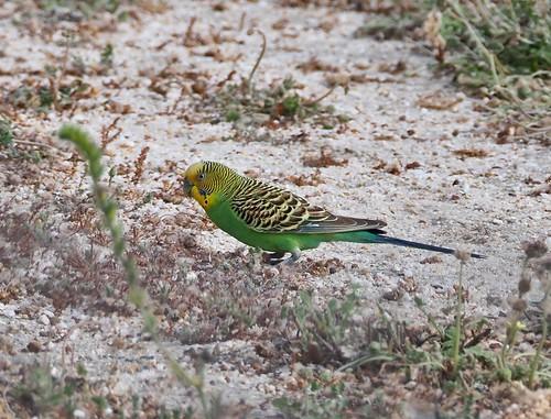 Parrots - Budgerigar (F)