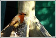 Erithacus rubecula. European Robin.